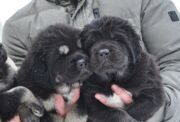 petro_prestige_puppies9