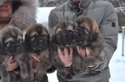 petro_prestige_puppies1