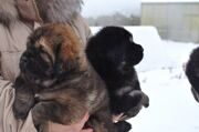 petro_prestige_puppies3